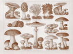 mushrooms_c